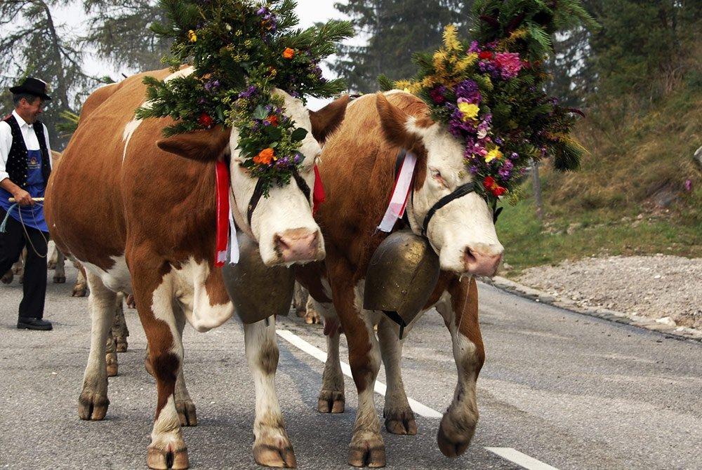 Ritorno a valle del bestiame sull'Alpe di Siusi